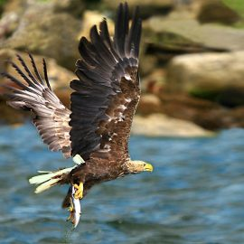 The White Tailed Sea Eagle now well established around the country after being reintroduced to the Scottish Highlands in the 1970's.  Photographed after catching a Mackrel
