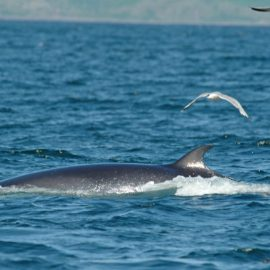 Minke Whale sea of Hebrides