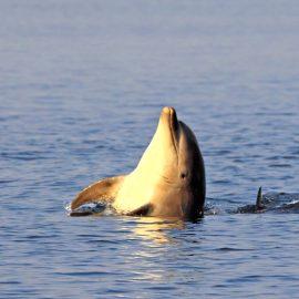 Bottlenose Dolphin 1