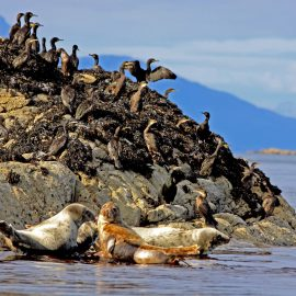 Common Seals and Shags