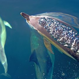 Common Dolphins ( delphinus delphis ) Sea of Hebrides, off Scotland's west coast
