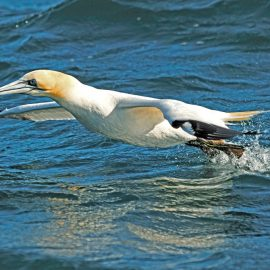 Atlantic Ocean, Gannet ( Morus bassanus ) taking off from the sea
