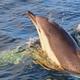 common dolphin 2