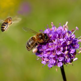 Honey Bees and wildflower Field Scabious
